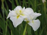 芽室菖蒲園のアイリス