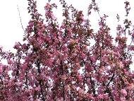 小林檎の花が満開