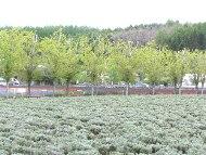 屋外ラベンダー園の花はまだ